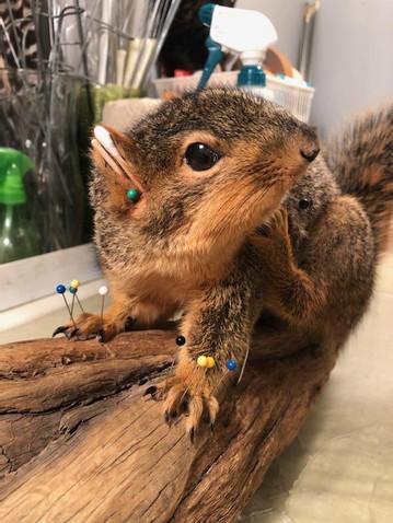 Fox Squirrel 5