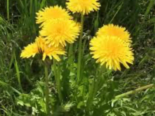 Dandelion- the healthiest weed in the world
