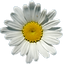 pngfind.com-daisies-png-100029.png