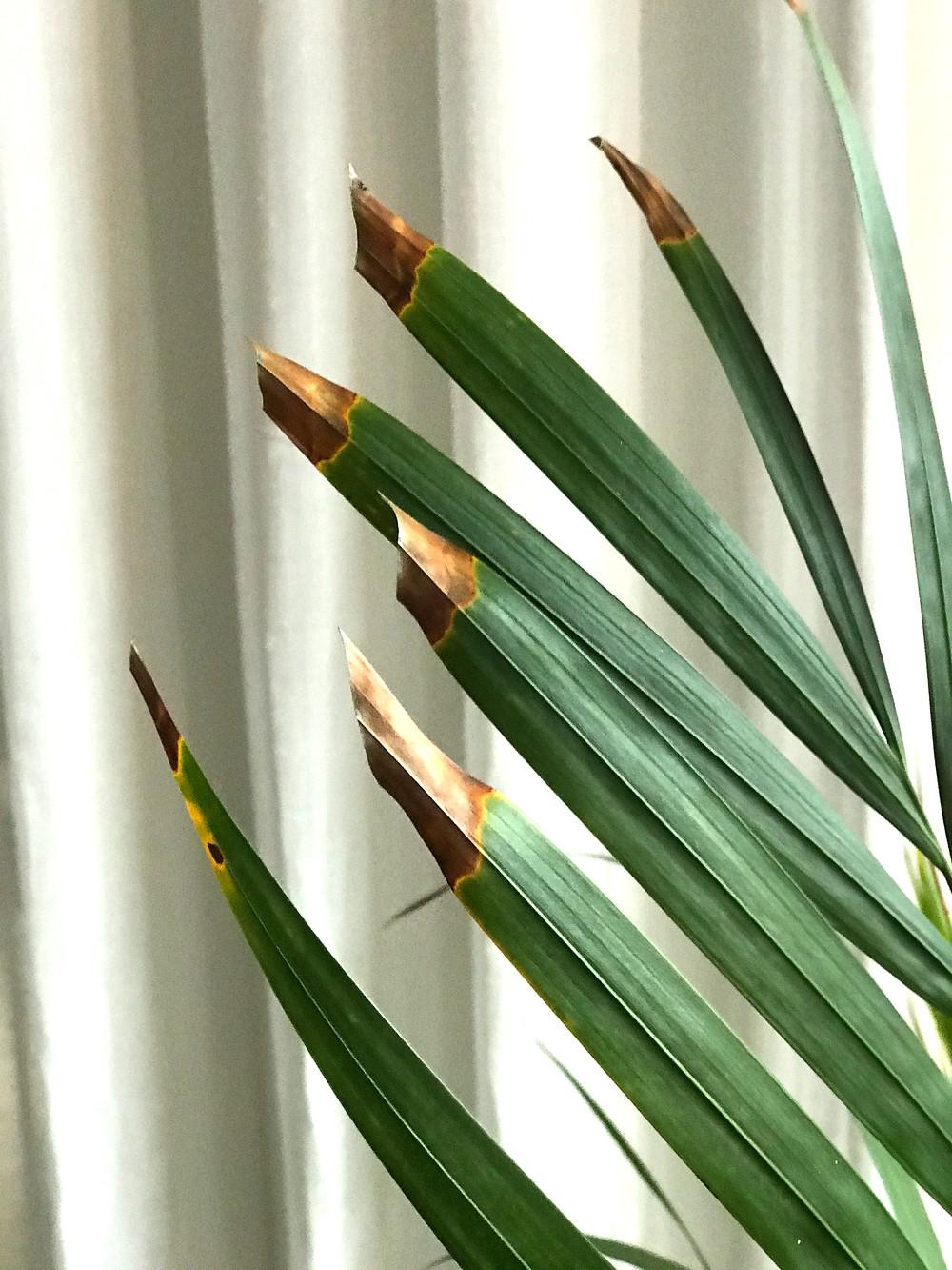 Dypsis lutescens, Palma Areca con puntas marrón