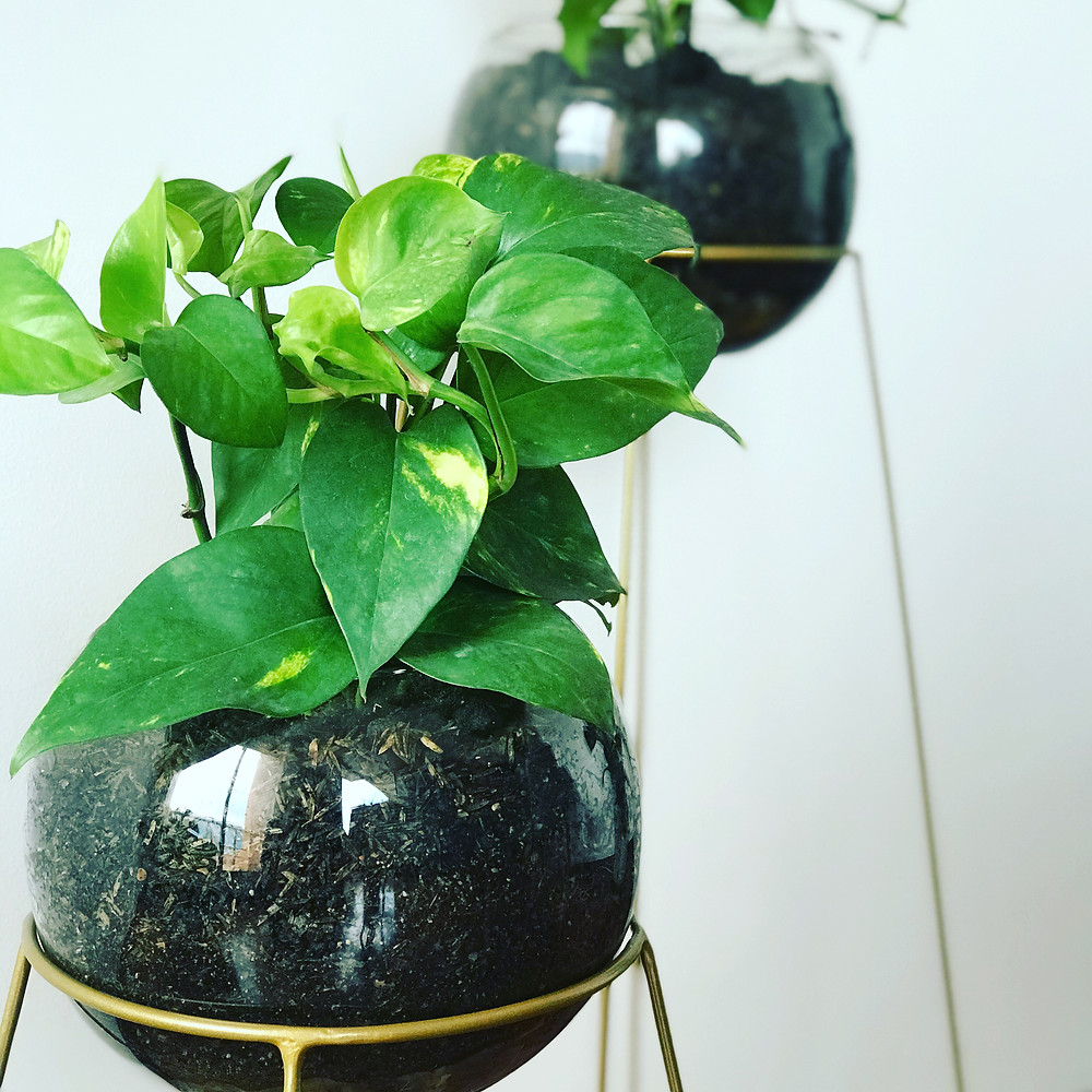 Epipremnum aureum en bola de vidrio