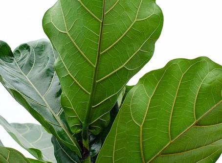 Cuidados de Ficus lyrata (Higuera hoja de violín)