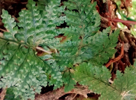 Cuidados de Helecho Pata de Conejo (Davallia Canariensis)