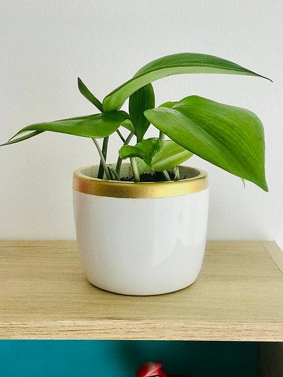 Plantas para Maceta Deco