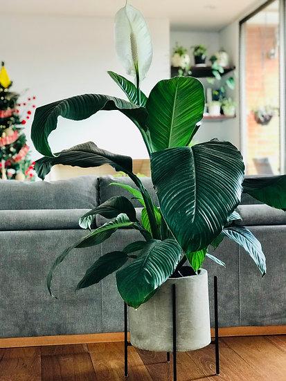 Plantas para Maceta Tubo