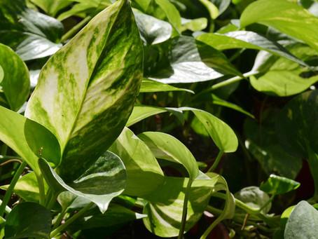 Cuidados de Miami (Epipremnum aerum)