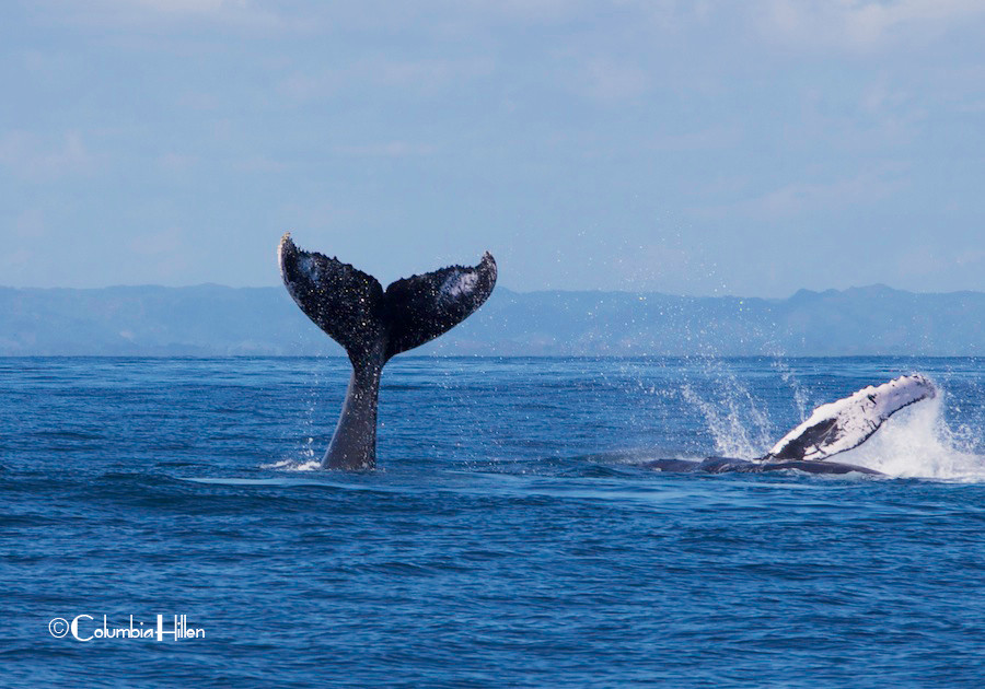 whale watching photography, columbia hillen