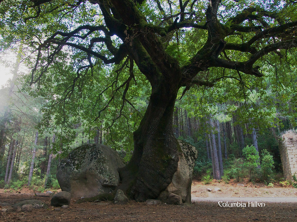 columbia hillen photography, oak growing in a rock, corsica photography