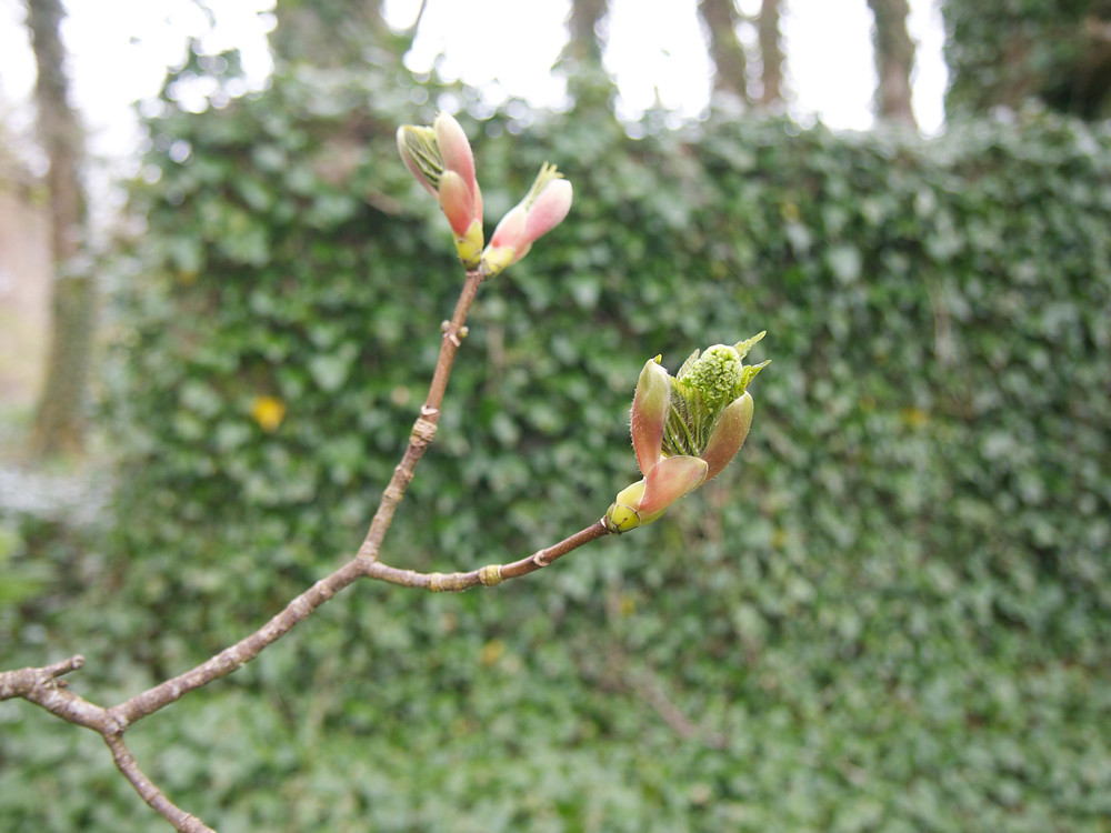 tree buds in spring, columbia hillen photography