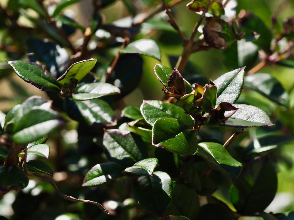 Columba's Wild Irish Healing Herbs Garden, Columbia Hillen