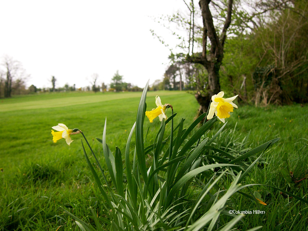 daffodils in donegal, columbia hillen photography
