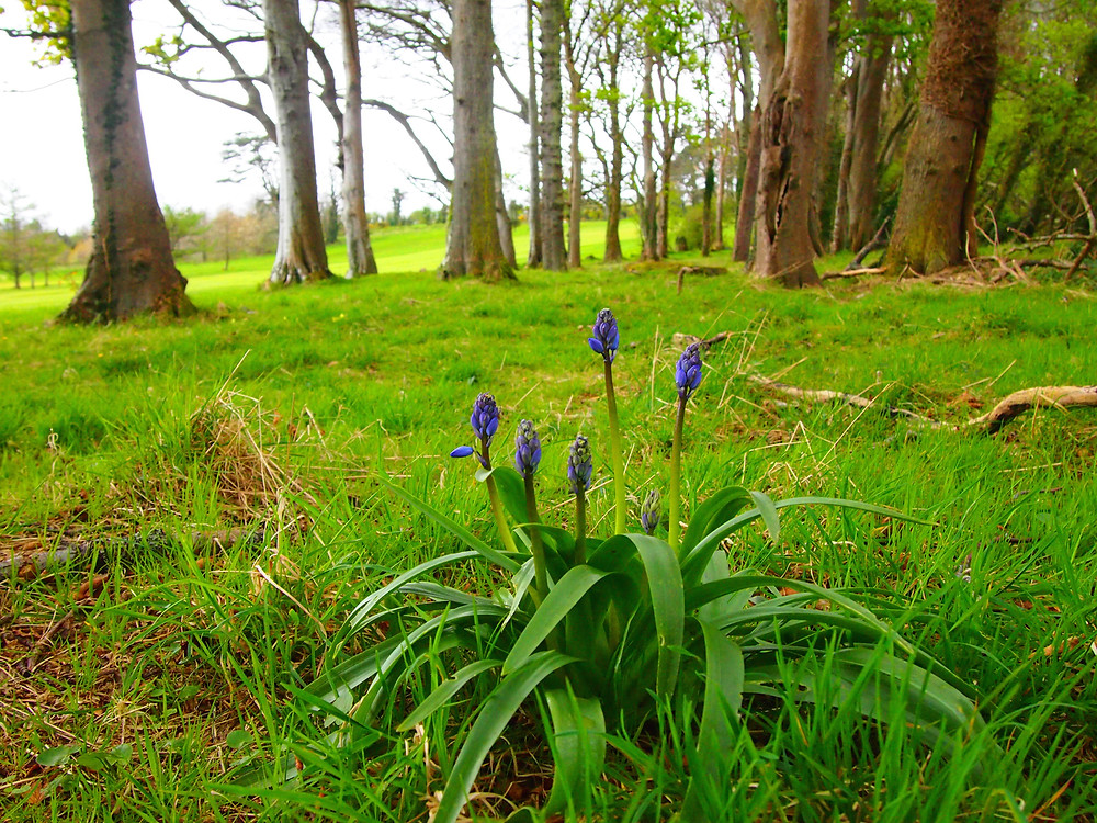 spring flowers in donegal, ballyconnell house donegal