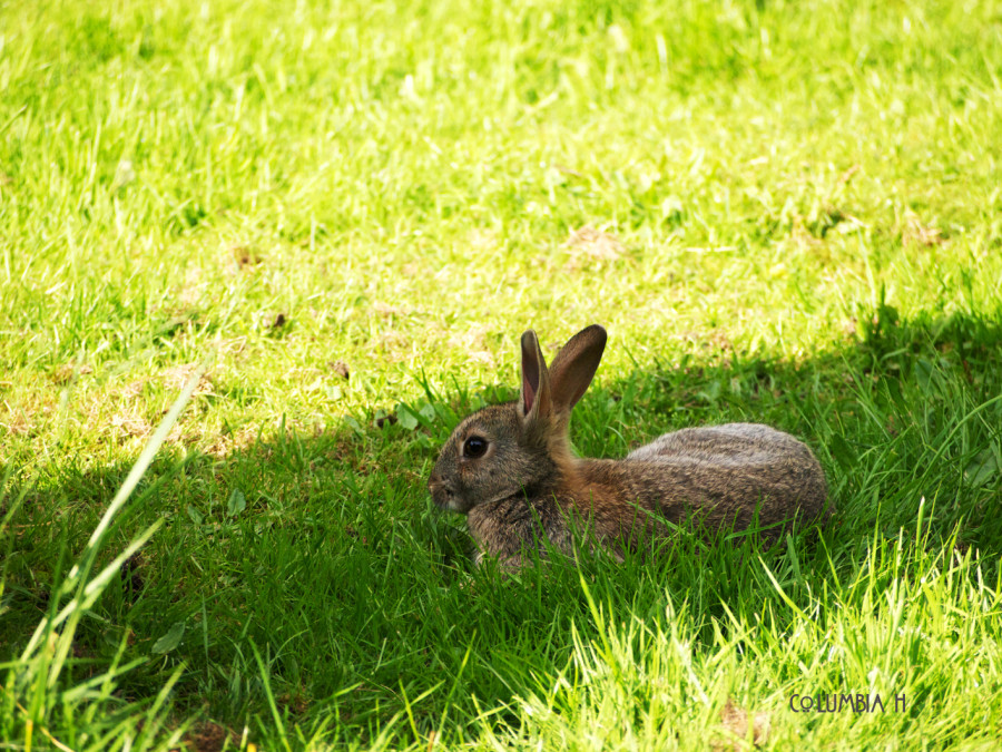 hare in the grass, columbia hillen photography