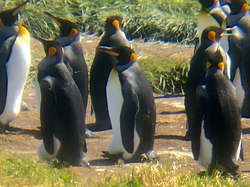 Penguins, Penguins, and Too Many Sheep to count in Patagonia, Chile