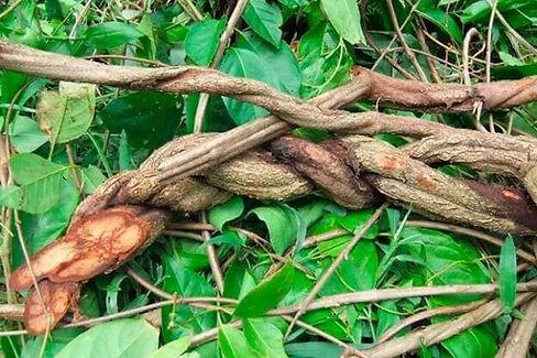 ayahuasca-plant-600x400.jpg