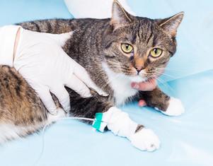 FIP 치료에 정맥 요법을 권장합니까 ?