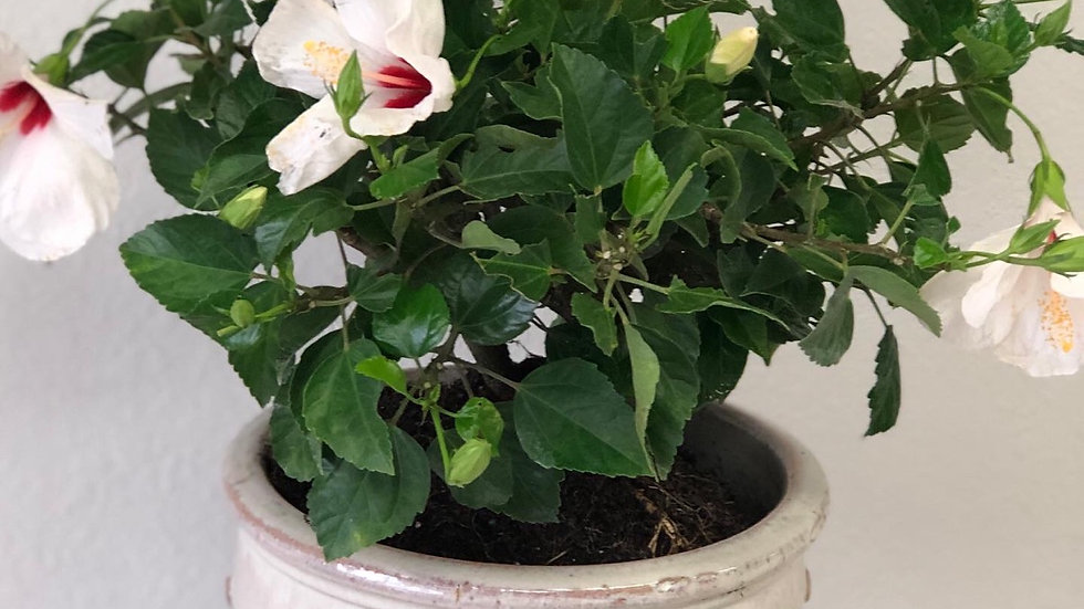 Hibiscus Planter