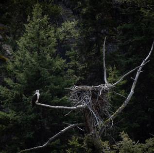 Yellowstone Osprey Nest Lamar.jpg