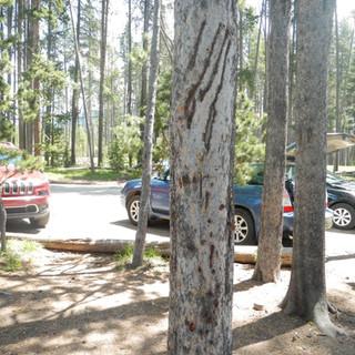 Gibbon Meadows Picnic Area YNP.JPG