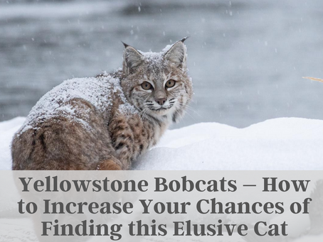 Yellowstone Bobcats – How to Increase Your Chances of Finding this Elusive Cat