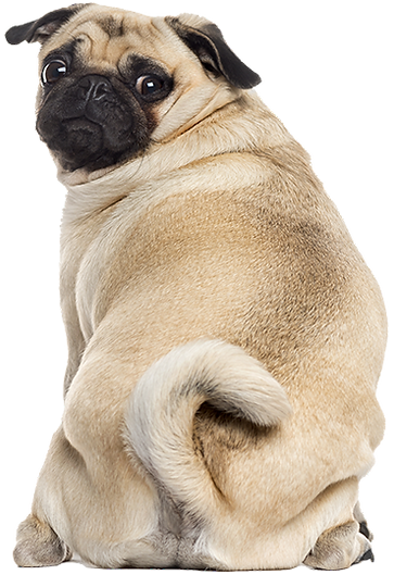 pug_for_web.png