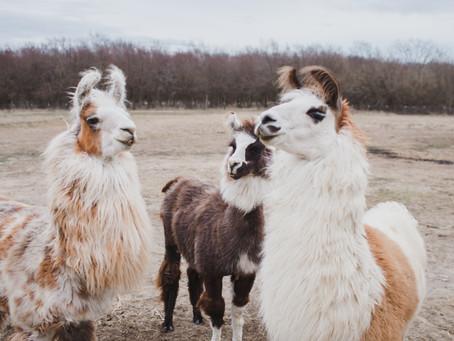 Insider Feature - Shangri Llama