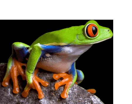ranita arboricola de los ojos rojos, popular en Costa Rica, país rico en exportaciones, especialmente de tuberculos y piña