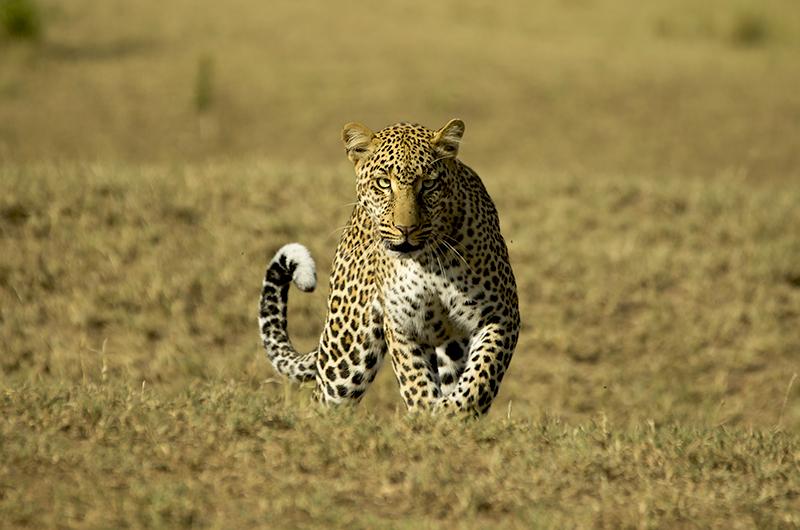 Leopard Masai Mara Kenya 2014