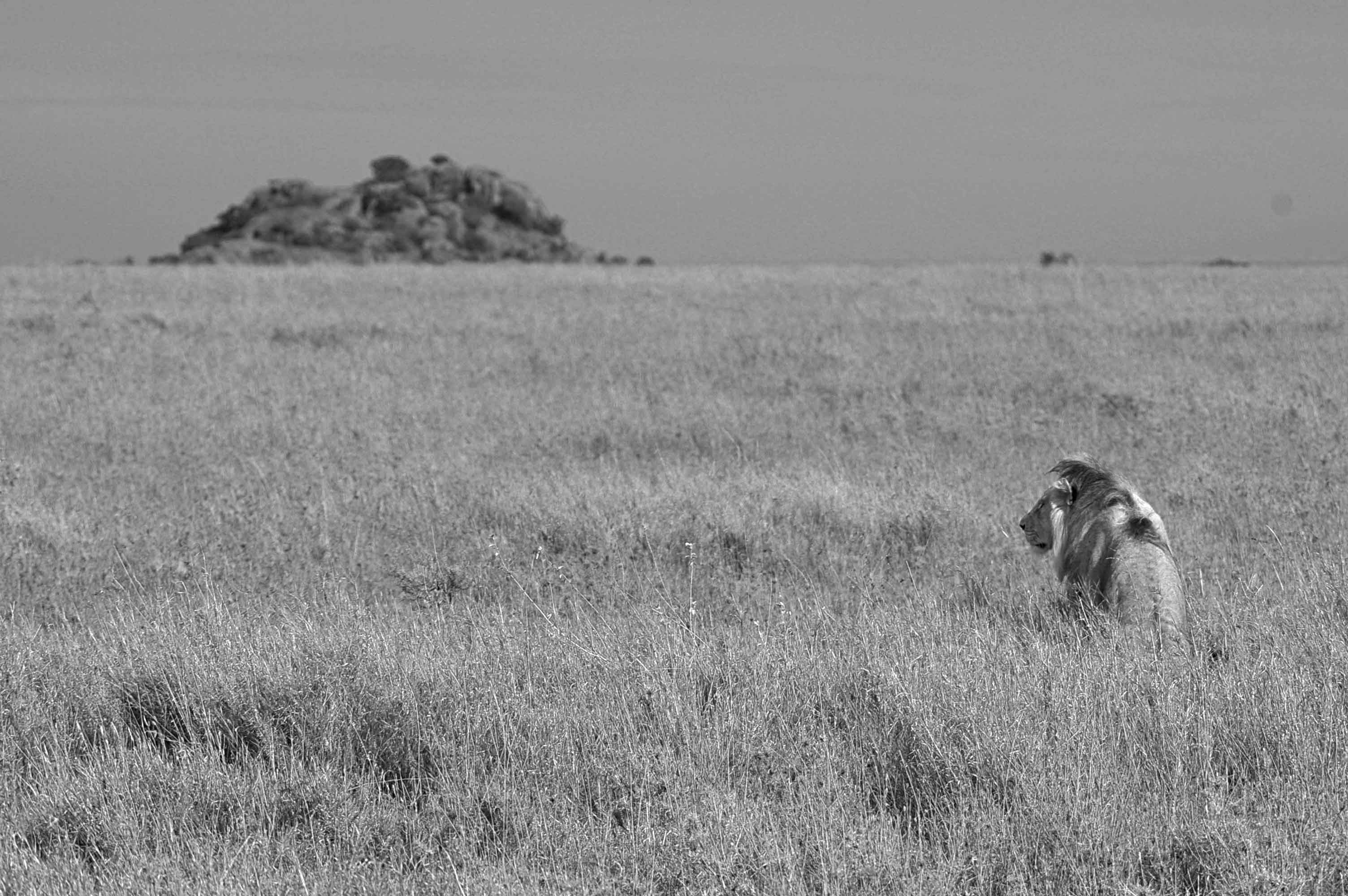 The King, Serengeti