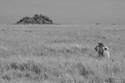 The King, Serengeti