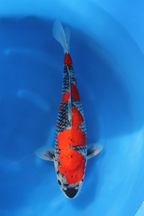 Goshiki 45 cm 075