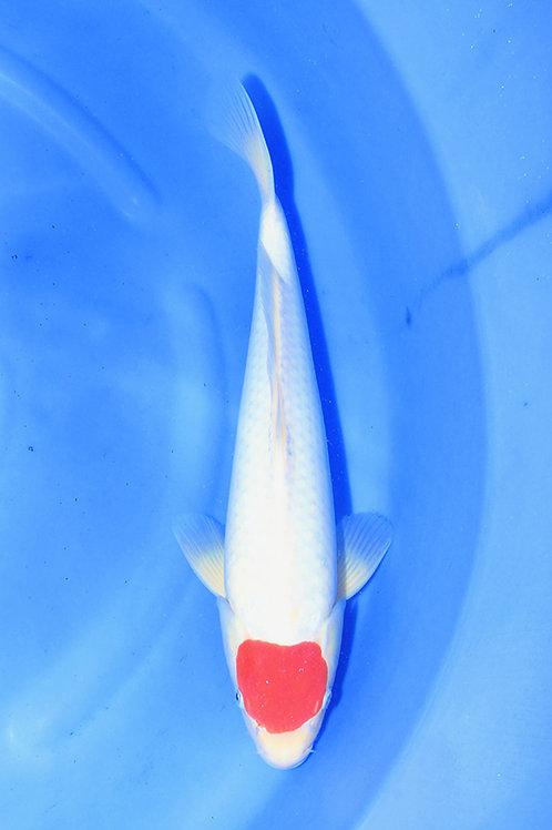 Tancho Kohaku 35-40 cm 043