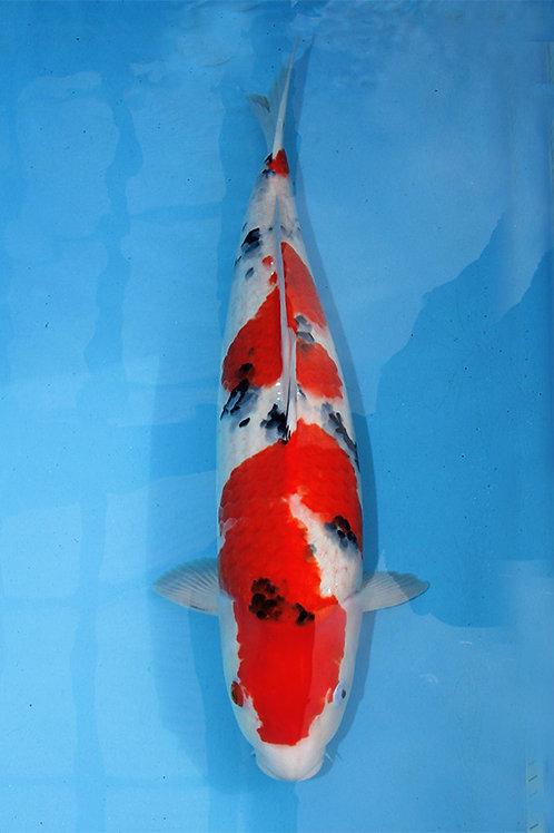 Sanke Nagoshi 60 cm 039