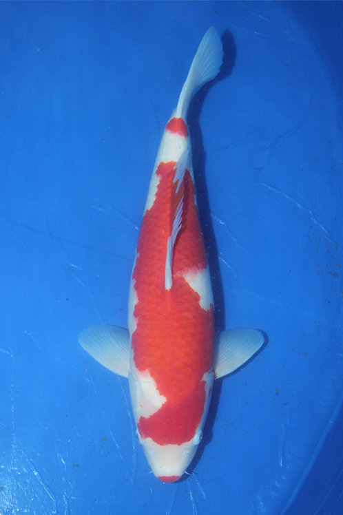 Kohaku Sakai 60-65 cm 016