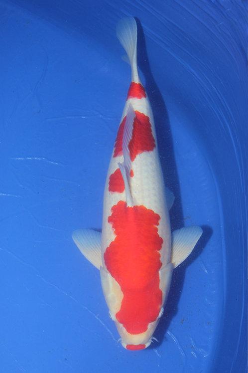 Kohaku Sakai 60-65 cm 014