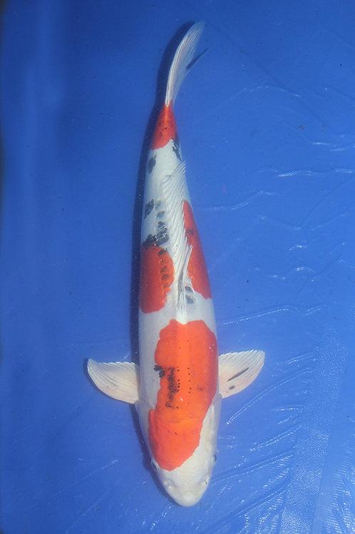 Yamatonishiki Sakai 60-65 cm 030