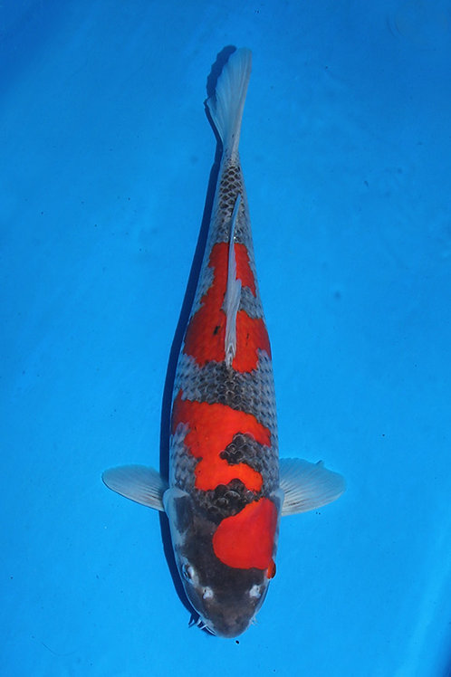 Goshiki 50 cm 062