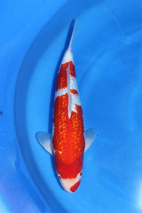 Ginrin Kohaku 40 cm 046