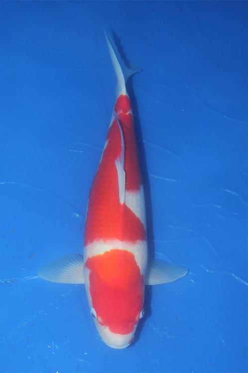 Kohaku Sakai 60-65 cm 033