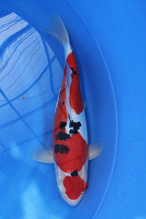 Doitsu Sanke 40 cm 063