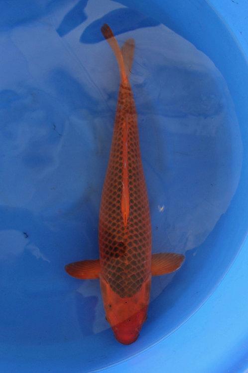 Aka Matsuba 45 cm 077
