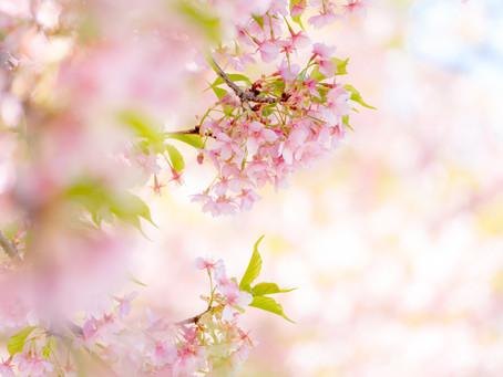 【募集!2/28&3/2】河津桜と撮ろう!