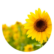 sunflower_white.png