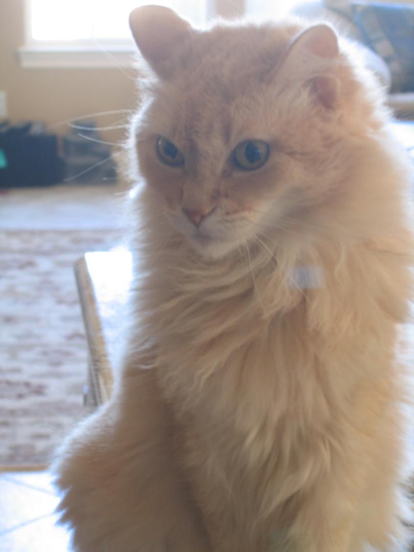 Orange Tabby Cat