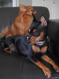 Min Pin & Pomeranian