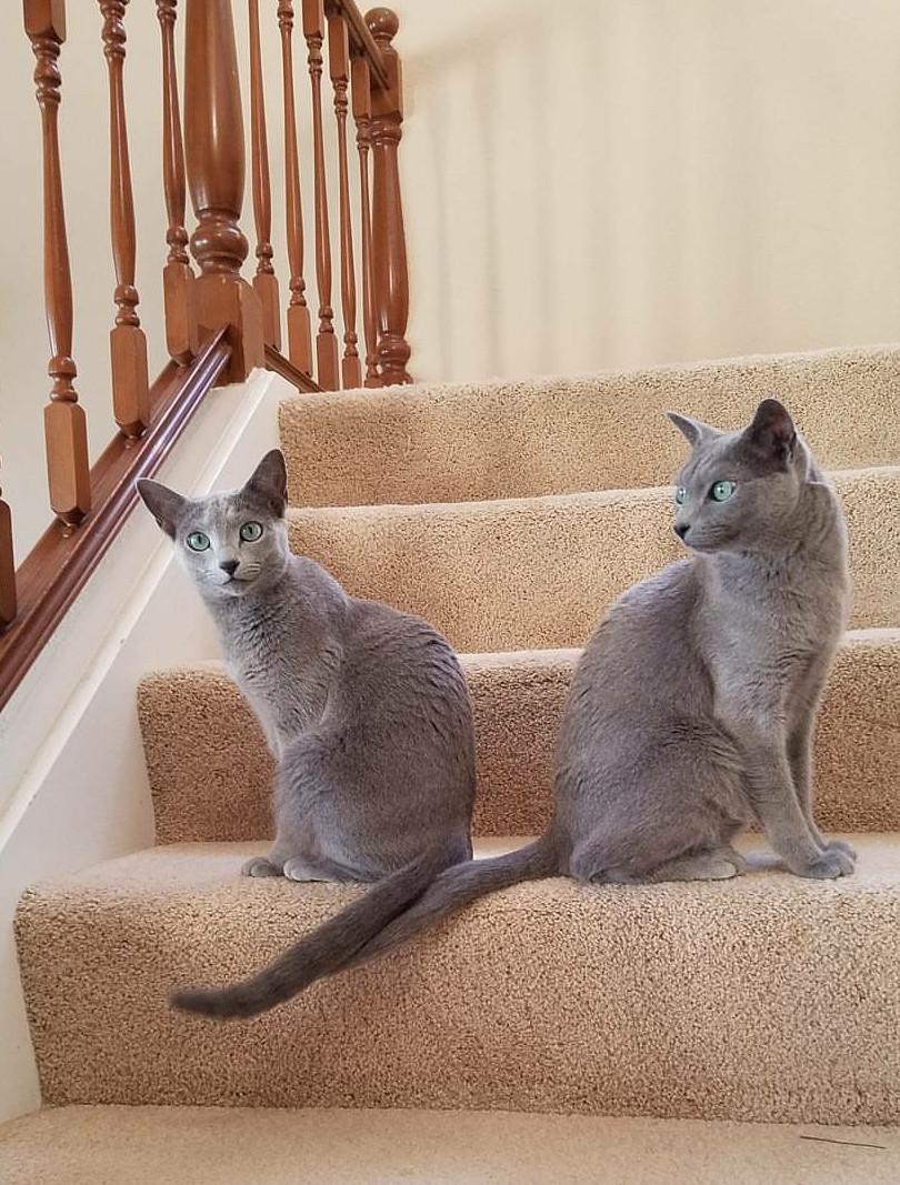 Russian Blue Cats