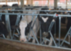 Feed fences for cows
