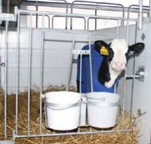 Calf enjoying her calf suite