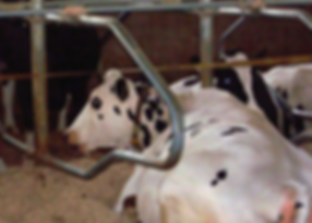 Cow laying in a freestall