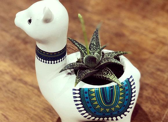 Llama love Succulent